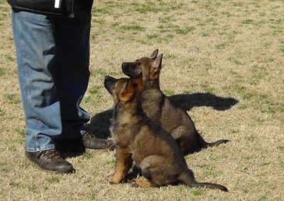 Ayk puppies