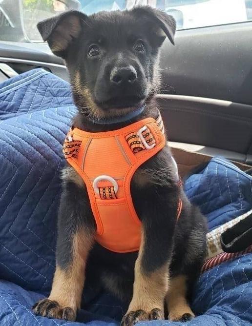 vom Haus Schair puppy